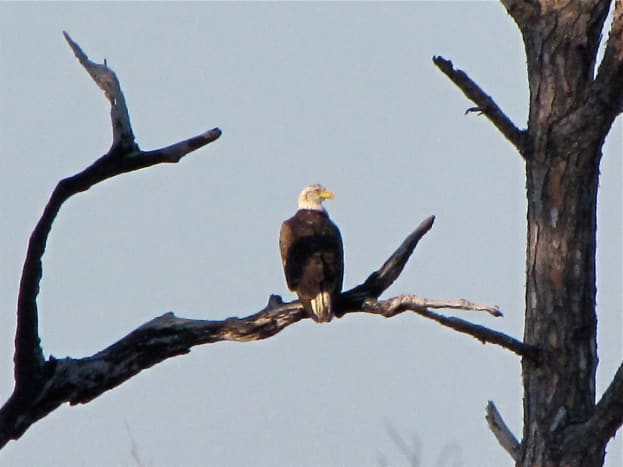 Bald Eagle in Honeymoon Island State Park.