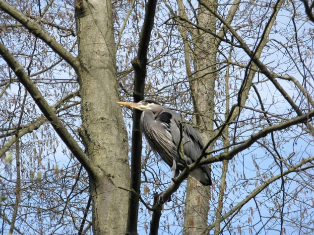 A heron in a tree by Lost Lagoon