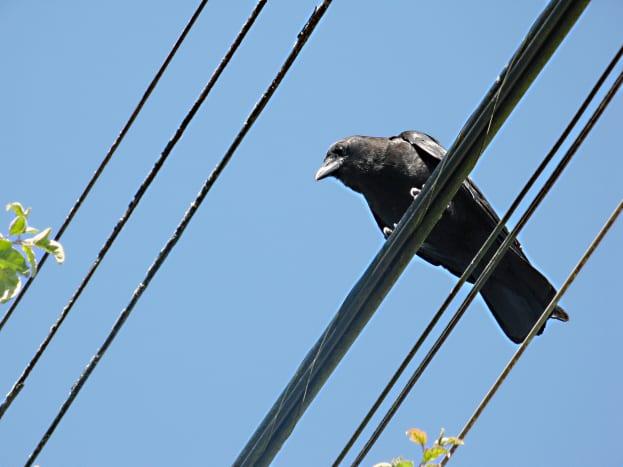 A northwestern crow beside the urban trail