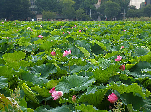 Lotus blossoms in Shinobazu Pond