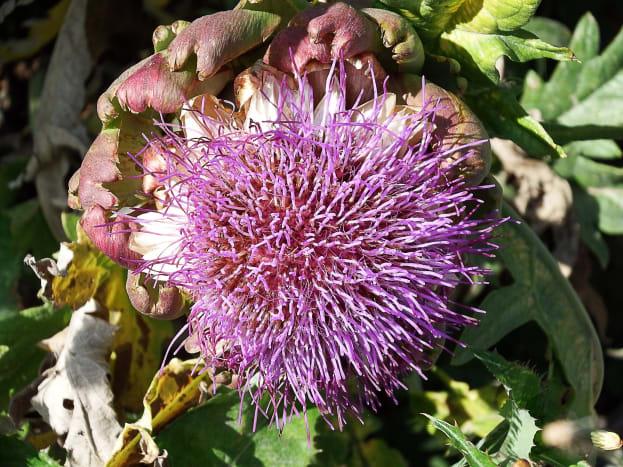 An artichoke flower head or inflorescence