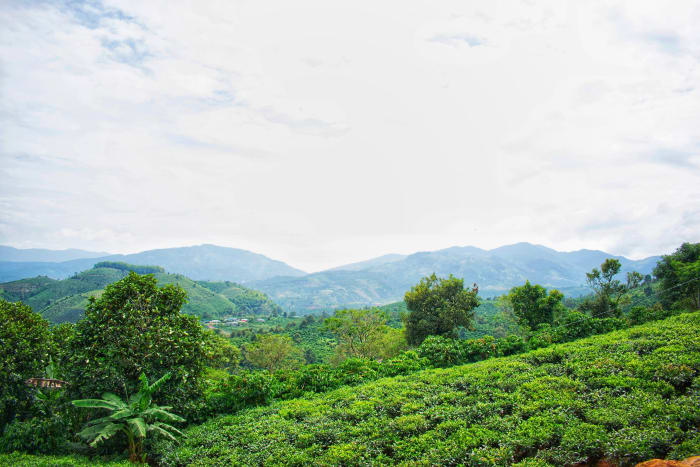 Here is where you can camp among the green tea fields.