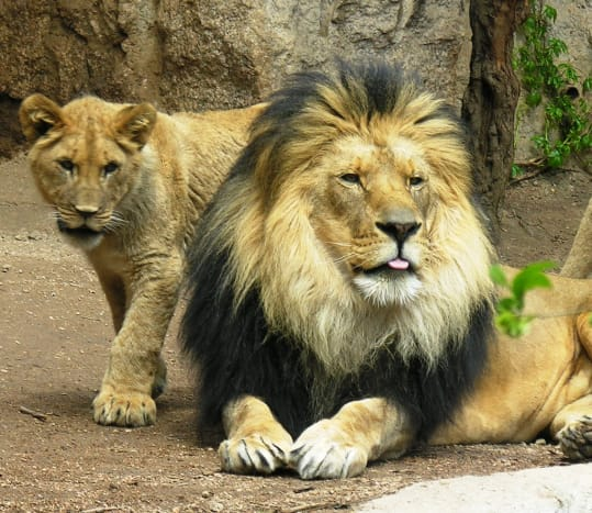 Lion and cub at the Cheyenne Mountain Zoo in Colorado Springs, Colorado