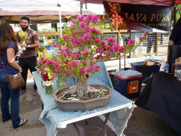 Spectacular bonsai bougainvillea