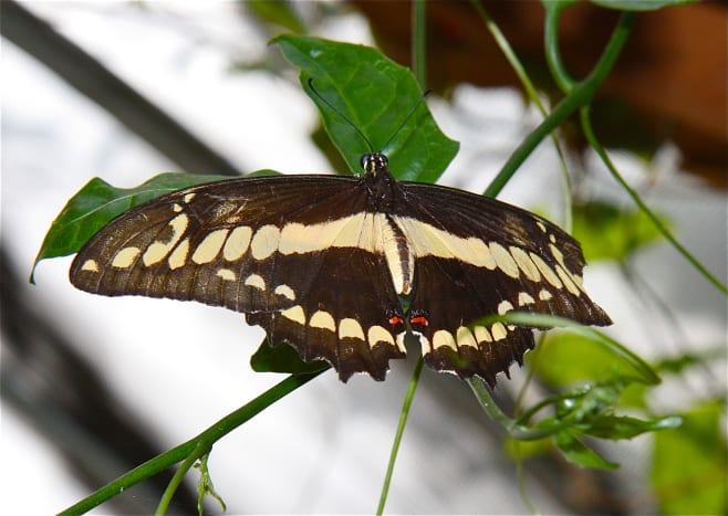 The San Antonio Zoo has an enclosed butterfly exhibit. The delicate creatures land on your arms and flit above you while you stroll through the paths.