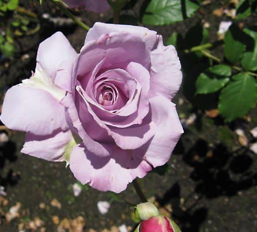 A lavender rose