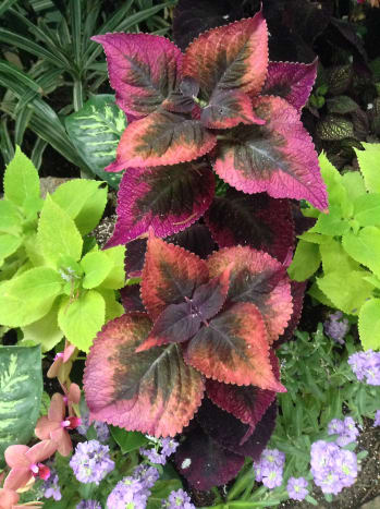 I think that Coleus leaves can sometimes be as beautiful as flowers.