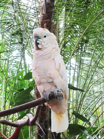 Kramer is a salmon-crested or Moluccan cockatoo. He often talks to visitors.