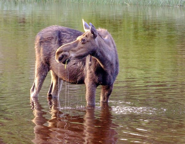 Moose @ Isle Royale National Park, Michigan