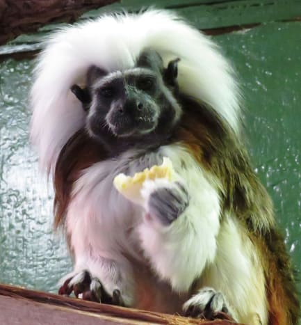 Cotton-topped Tamarin at NEW Zoo in Green Bay, Wisconsin