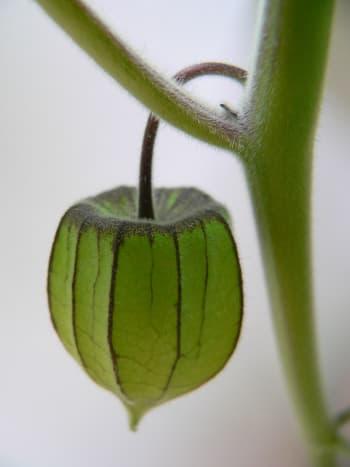 unripe rasbhari fruit
