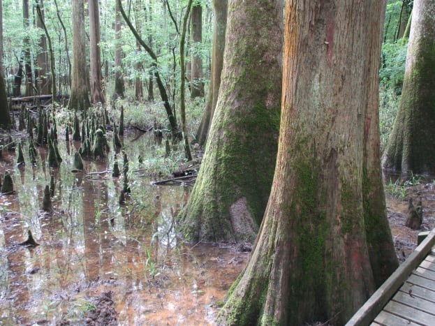 Here are a few photos of the many large trees along the Boardwalk at Congaree National Park.