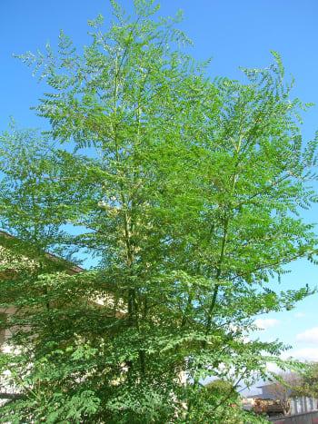 Moringa oleifera Or Sahjan Tree