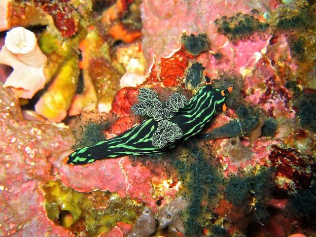 Nembrotha kubaryana in the Phillipines