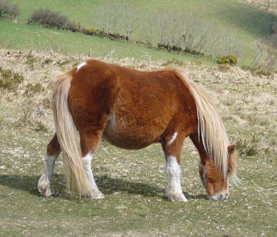 A rare pony grazes on Hameldon in Dartmoor.
