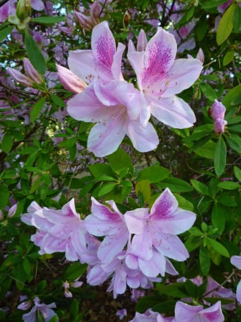 Cenacle grounds – azaleas in bloom