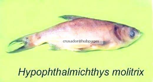 Hypophthalmichthys molitrix
