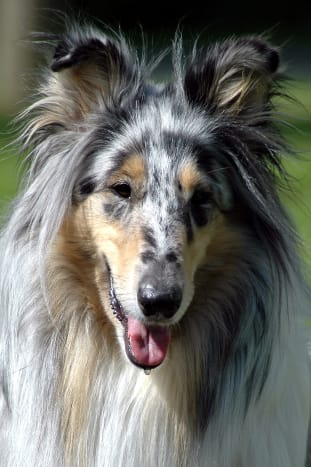 Blue merle Rough Collie.  (Photo by Jari Lehtikangas)