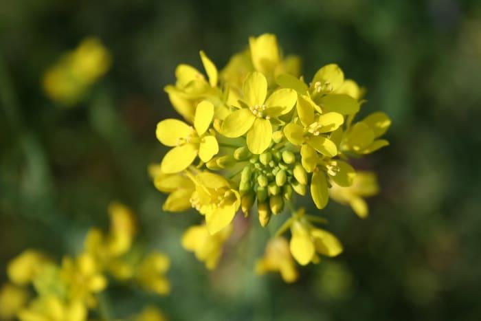 Mustard plant.