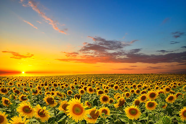 Sunflowers, agriculture, Free State, South Africa