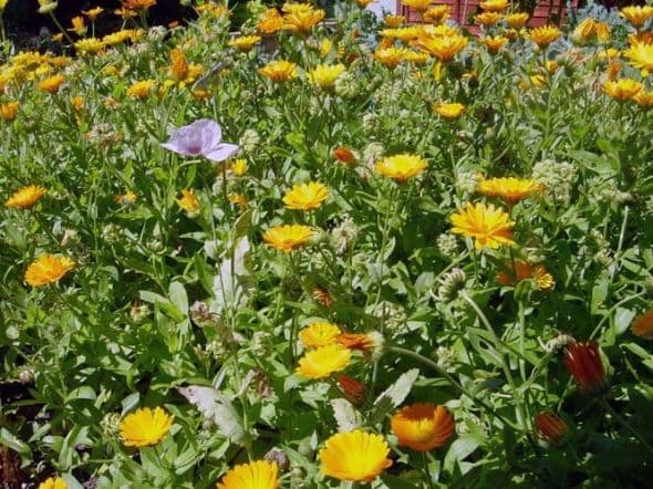 Pot Marigolds growing in Medieval Vegetable Garden as a Companion Plant