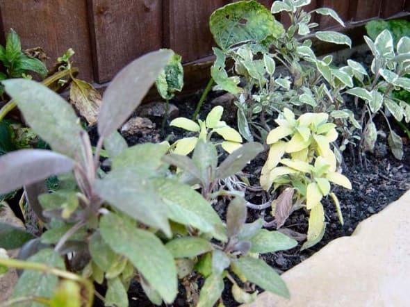 Sage in My Garden