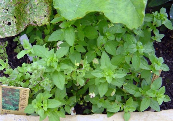 Marjoram Herb Plants