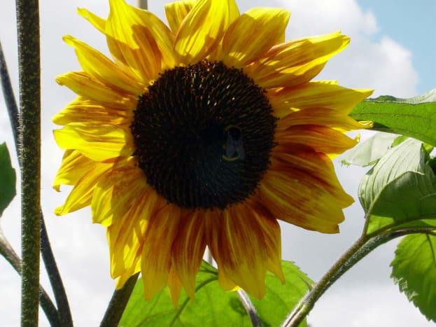 Yellow sunflower in my garden