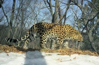 endangeredamurleopard