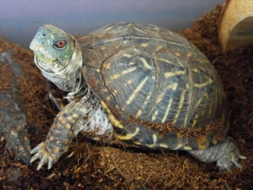 Box Turtle in shelter