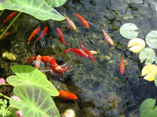 goldfish_information
