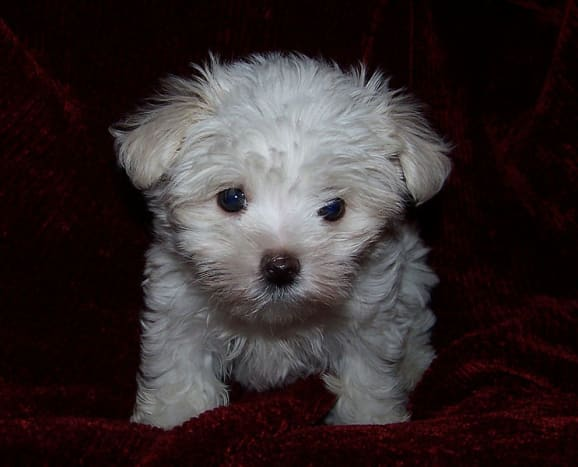 Maltese puppies are precious little bundles of fur.