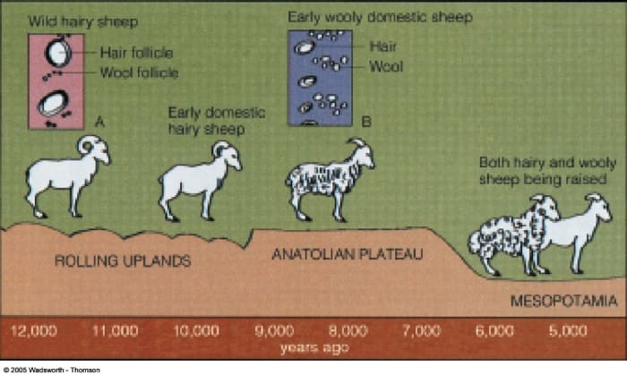 the-domestication-of-the-dog-fox-cattle-and-sheep