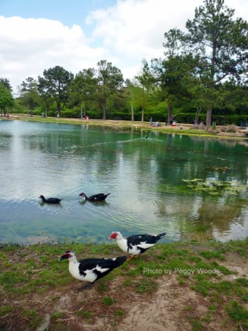 Muscovy Ducks in Mary Jo Peckham Park