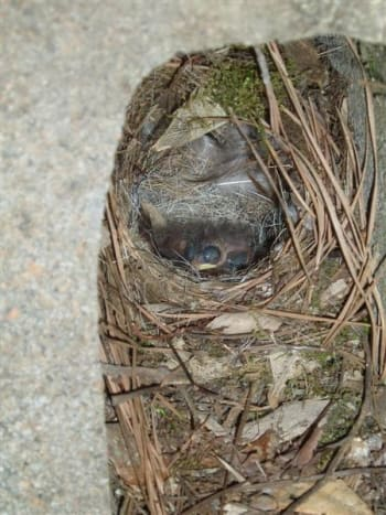 This pair built a nest in a cinder block by the back door.