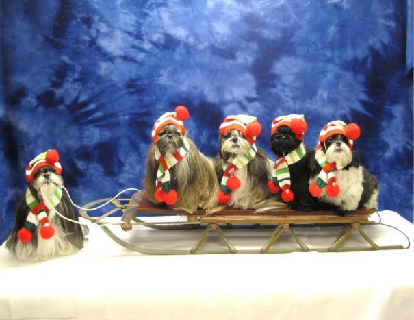 Shih Tzu dogs on a sled