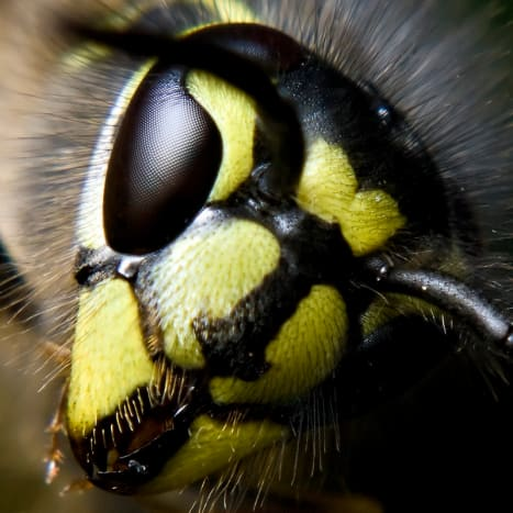 Wasp: The U-shaped eye is clearly seen in this image. And the cutting mouth parts are also very visible.