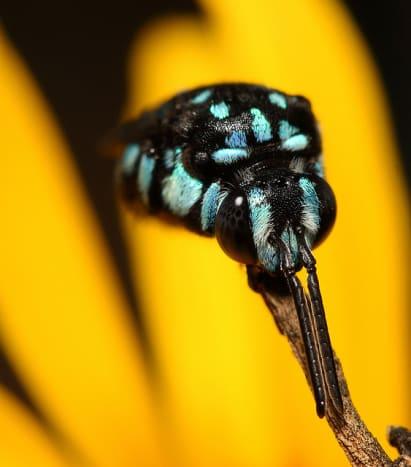 Cloak and Dagger Cuckoo Bee