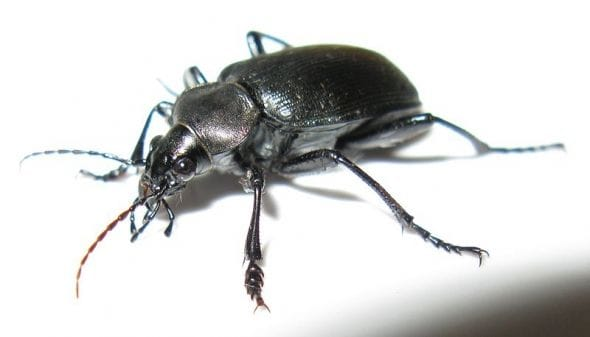 A ground beetle.