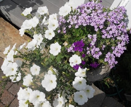 Verbena and white petunias