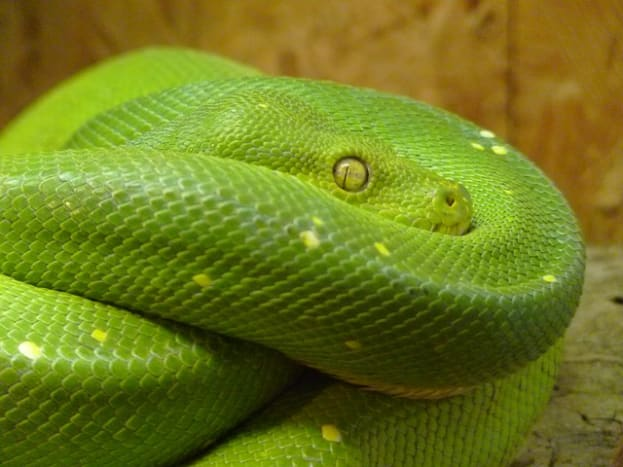 The green tree python is arboreal