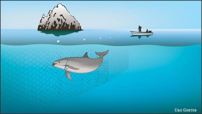 Vaquita bycatch