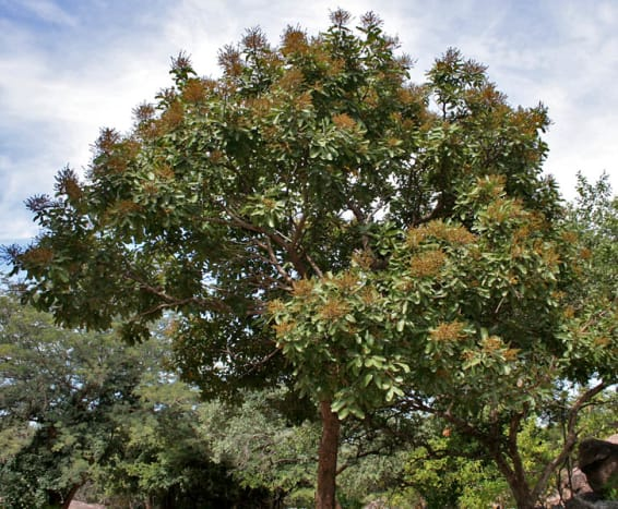 ritha-aritha-soap-nuts-or-the-laundry-tree-health-benefits-uses-and-benefits