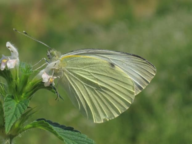 Beautiful capture of a cabbage white butterfly - Public Domain.  You can see more yellow on the undersides of the wings as seen here.