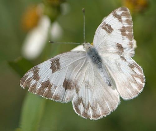 Checkered White - Pontia Protodice  Butterfly.  http://en.wikipedia.org/wiki/User:Magnus_Manske