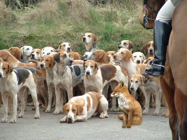 American Fox hound
