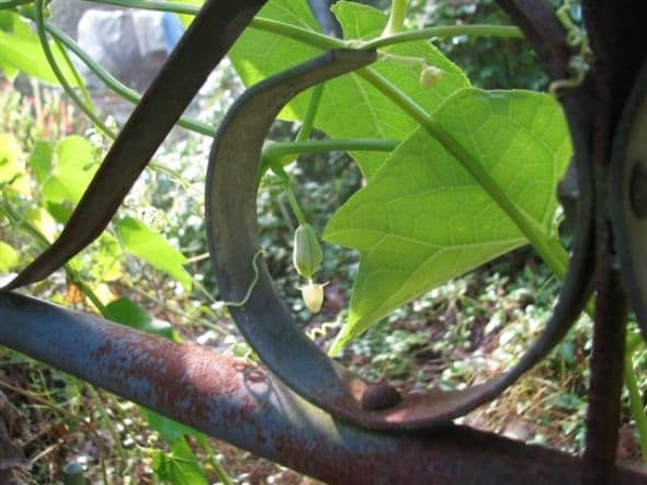Mirliton Vine on garden gate with a female flower bud about to open.