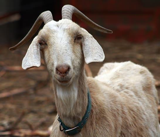 my-pet-goat-trixie