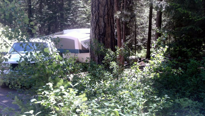 One of the large ponderosa pine trees near an RV.