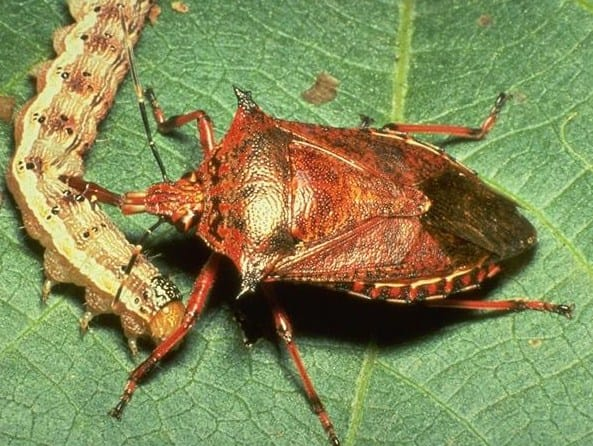 A spined soldier bug is pictured here. Also called spined stink bugs, they prey primarily on caterpillars.